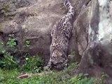 Admirez ce magnifique léopard blanc. Hypnotisant !