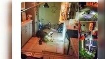 Surprise en pleine nuit... Un alligator dans la cuisine !