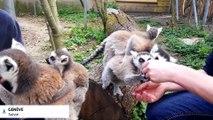 Un bébé lémurien né au parc animalier de Challandes à Genève, sauvé au biberon