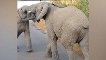 Dispute entre deux éléphants