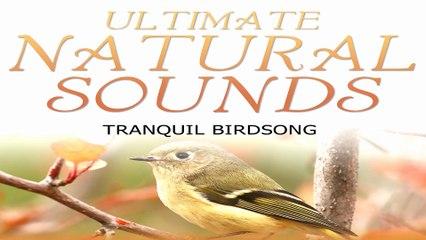 Beautiful Nature Sounds - Tranquil Birdsong -