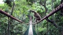 Ce singe Gibbon a une façon bien à lui de prendre ce pont