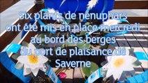 Six plants de nénuphars ont été mis en place le long des berges du port de plaisance de Saverne