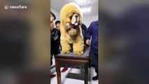This giant Tibetan mastiff in eastern China looks just like a lion