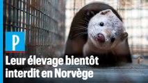 L'élevage d'animaux à fourrure bientôt interdit en Norvège