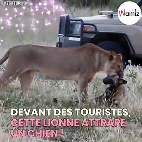 Cette lionne attrape un chien avec ses crocs !