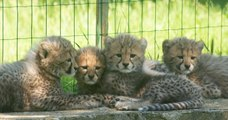 Quatre bébés guépards nés au Safari de Peaugres