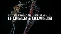 Ce champignon génétiquement modifié tue 99 % des moustiques porteurs du paludisme