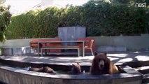 Il découvre des intrus dans sa fontaine de jardin... une famille d'ours