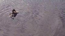 Un brochet trop gourmand essaie d'avaler un gros canard... pas facile