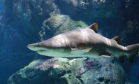 Hawaii to Introduce Bill to Ban Shark Killing
