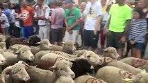 Bédoin : des centaines de moutons pour la transhumance traditionnelle au pied du Ventoux