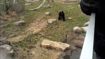 Quand une oie chasse un gorille... Le monde à l'envers