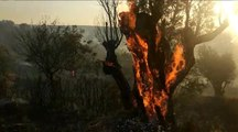 Orman yangınında zeytin ağaçları kül oldu