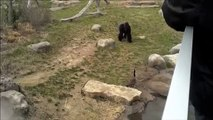 Une oie affronte et effraye un énorme gorille