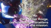 Des scientifiques israéliens en sauveurs de coraux