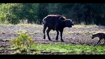 Hyena vs Buffalo | Powerful Buffalo Hyena | Animal Videos  | Hyena vs Buffalo Videos