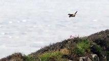 Un faucon crécerelle en vol stationnaire