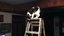 Ce chat détruit une TV en sautant dans le salon !