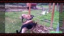 Animales Troleando Cabras y Cabras Troleando Animales Cabras Y Ovejas Locas #3