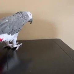 African Grey Parrot Imitates Owner While Playing Peek-a-Boo