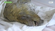 Immaculately-preserved 30,000-year-old wolf head found in Siberia