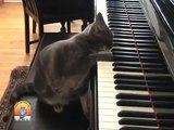 Un vrai chat pianiste qui va vous faire sourire. A la fois drôle et mignon !