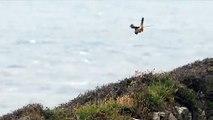 Un faucon effectue un vol stationnaire parfait - Pays de Galles