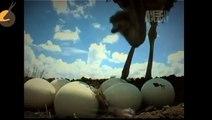 Best Documentary HD Wildlife Animals   Ostrich's life   Animal Planet   Animal Videos - Viral Videos