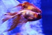 Avoir des poissons colorés sans produits chimiques