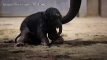 VIDÉO - Belgique : un bébé éléphant naît au zoo Pairi Daiza