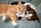 Top 10 des races de chats qui s'entendent bien avec les chiens