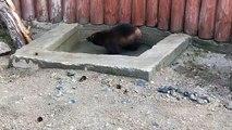 Cet ours est tellement propre qu'il ne mange que de la viande propre. Adorable !