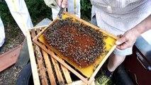 La transhumance des abeilles du Forez