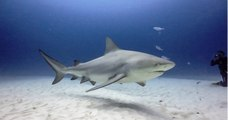 Une vingtaine de requins bouledogues vont être abattus, après deux attaques en Nouvelle-Calédonie