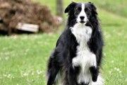 Le Border Collie : un chien de berger hyperactif mais un fidèle compagnon