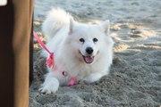 Le Samoyède : un chien aux allures de nounours