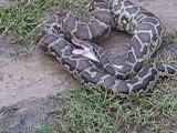 Ce python a mangé quelque chose qu'il n'arrive pas à digérer