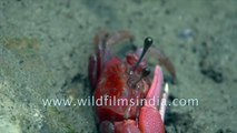 Red fiddler crab of the UNESCO heritage site, Sundarbans