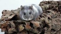 Cet hamster est merveilleuse, vous allez totalement fondre. Admirez !