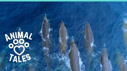 Rare Baird's Beaked Whales Spotted Off California