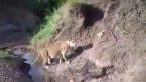 Même chez les lions, une maman reste une maman