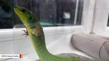 Stowaway Lizard Travels 2,000 Miles In Someone's Suitcase