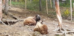 Découvrez l'Auvergne: Le Takin au Parc animalier d'Auvergne d'Ardes sur Couze (63)