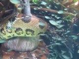 Un anaconda filmé sous l'eau avec sa proie en plein combat