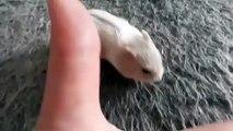 Admirez ce bébé hamster qui gambade déjà. Trop Cute !