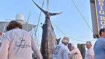 Ils pêchent un marlin bleu de 414 kg et remportent 797 000 $