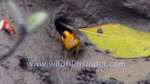 Mud Crab, Red and Blue Fiddler Crab feeding on micro organisms in the largest halophytic mangrove forest in the world