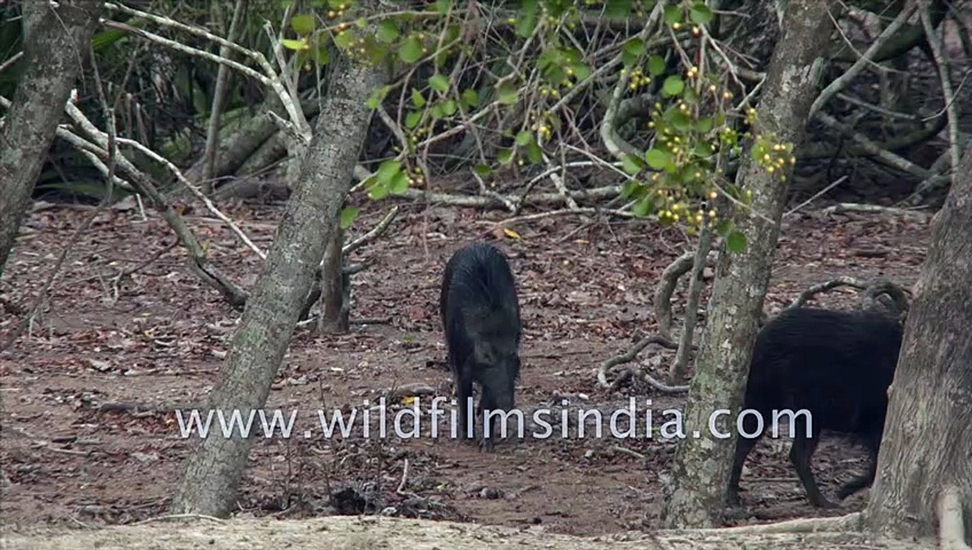 Wild Boars spotted at Sudhanyakhali Watch Tower, Sundarban , West Bengal, Inida| 4k stock footage