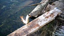 MCH 104 CAUGHT FIGHTING PIKE OR DID I . FISHING AT  GULL LAKE ALBERTA CANADA.